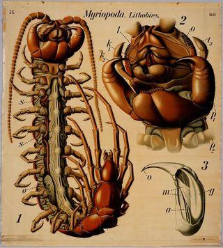 Myriopoda lithobus